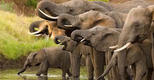 Elefante africano, foto presa dalla rete