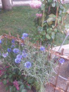 Fiordaliso, Fiore comune durante fino a qualche anno fa. Oggi quasi estinto.