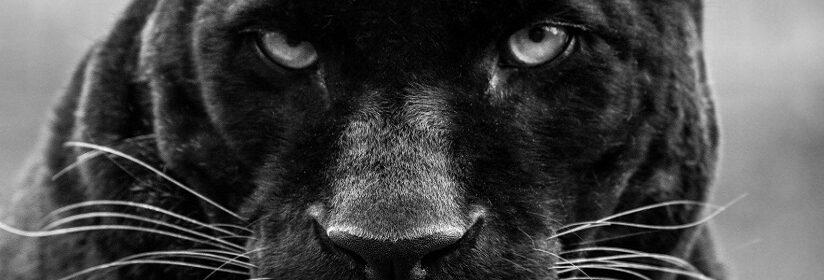 pantera-strea-fotografia